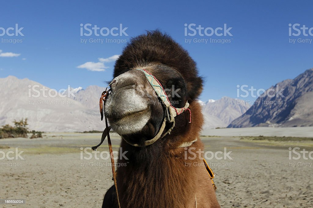 Portrait of Bactrian Camel royalty-free stock photo