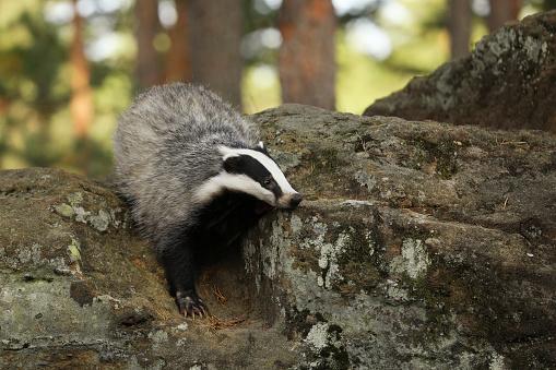 Portrait of badger in forest in summer - Meles meles