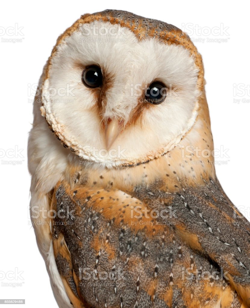 Portrait of Barn Owl, Tyto alba, in front of white background stock photo