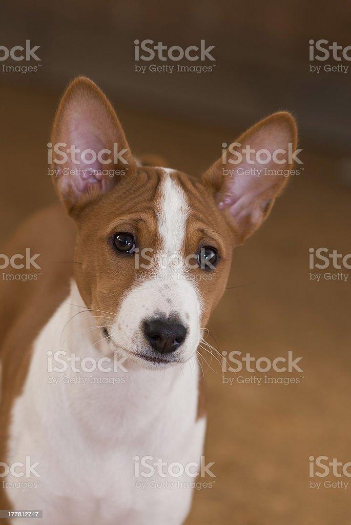 Portrait of  Basenji puppy royalty-free stock photo
