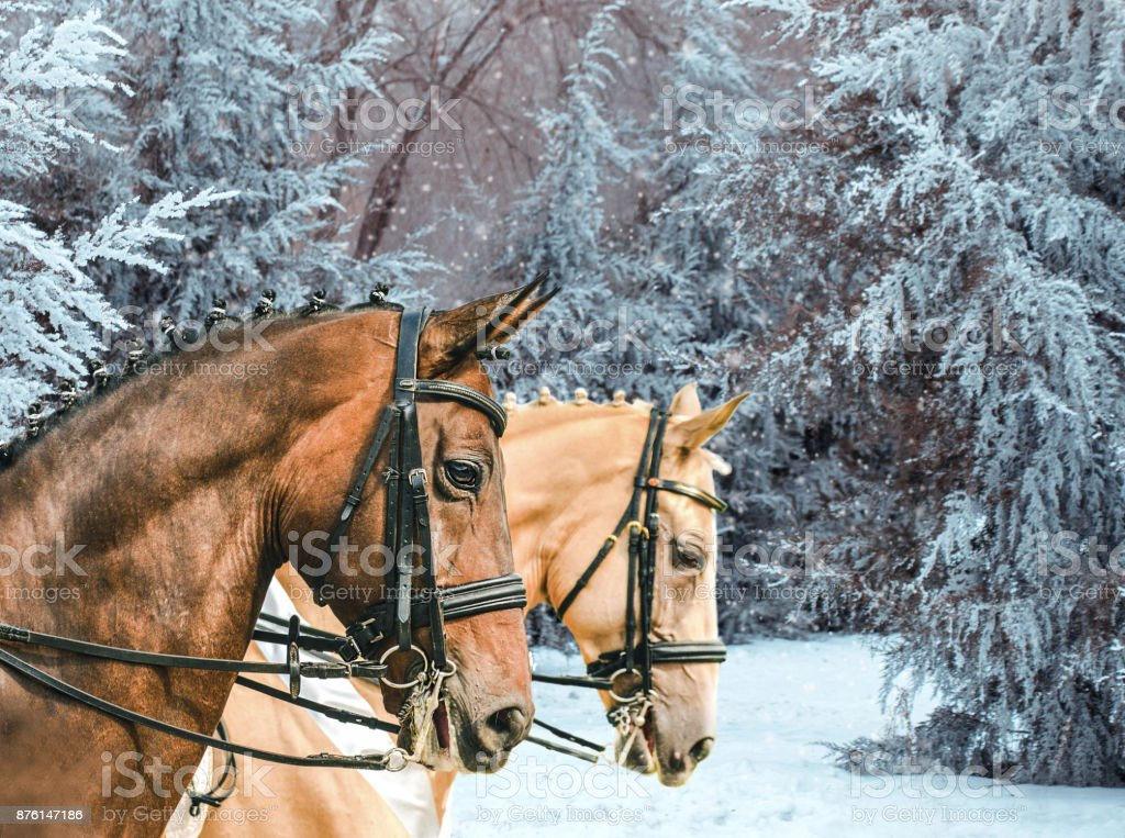 Portrait of bay and pearl (gold champagne) dressage horses, winter park with frosted trees as a background. stock photo