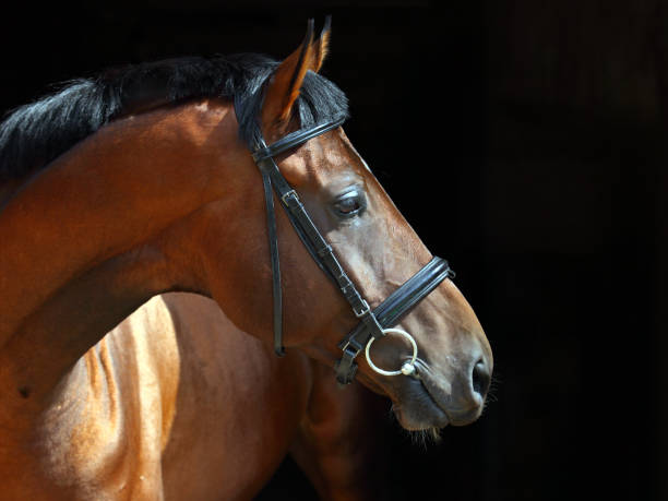 portrait of bay dressage horse on dark background - horse bit stock pictures, royalty-free photos & images