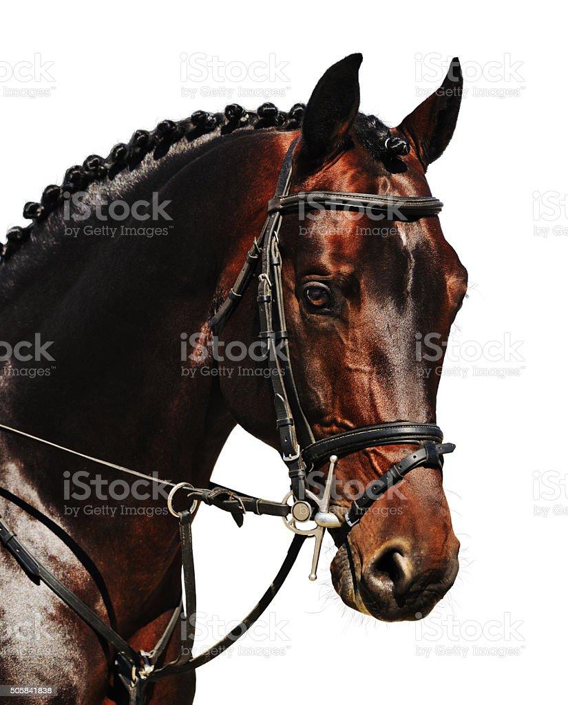 Portrait of bay horse isolated stock photo