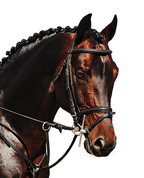 Porträt der Bucht Pferd isoliert – Foto
