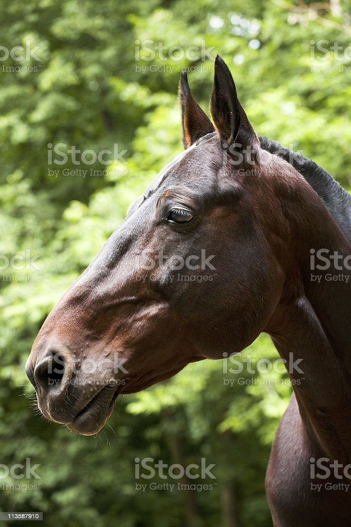 Portrait of Bay Horse stock photo