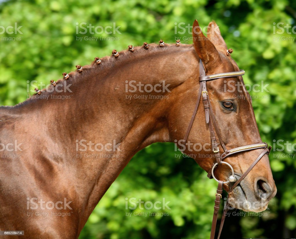 Portrait of bay purebred akhalteke horse stock photo