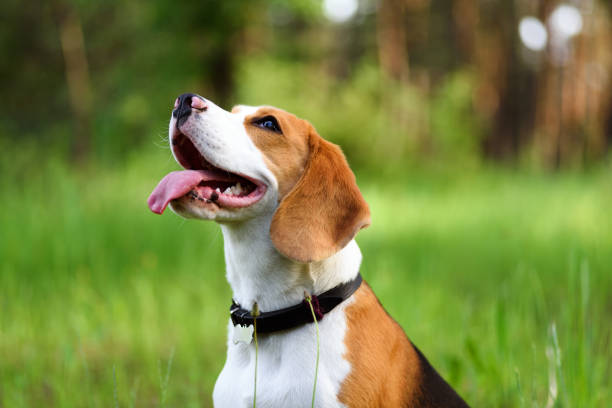 Portrait of beagle dog outdoors Portrait of happy young beagle dog outdoors against green nature background beagle stock pictures, royalty-free photos & images