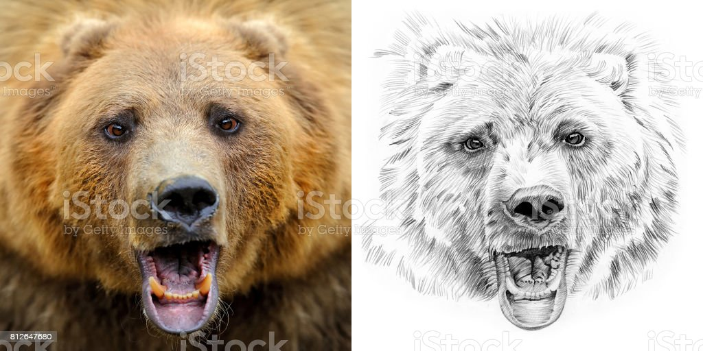 Portrait of bear before and after drawn by hand in pencil stock photo