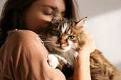 istock Portrait of beautiful and fluffy tri colored tabby cat at home, natural light. 1198100351