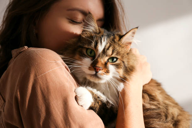 retrato de hermoso y esponjoso gato sensacionano tri color en casa, luz natural. - mascota fotografías e imágenes de stock