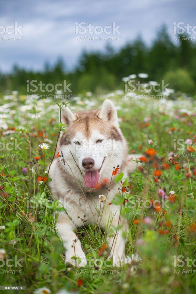 Portrait Of Beautiful Beige And White Dog Breed Siberian Husky Lying