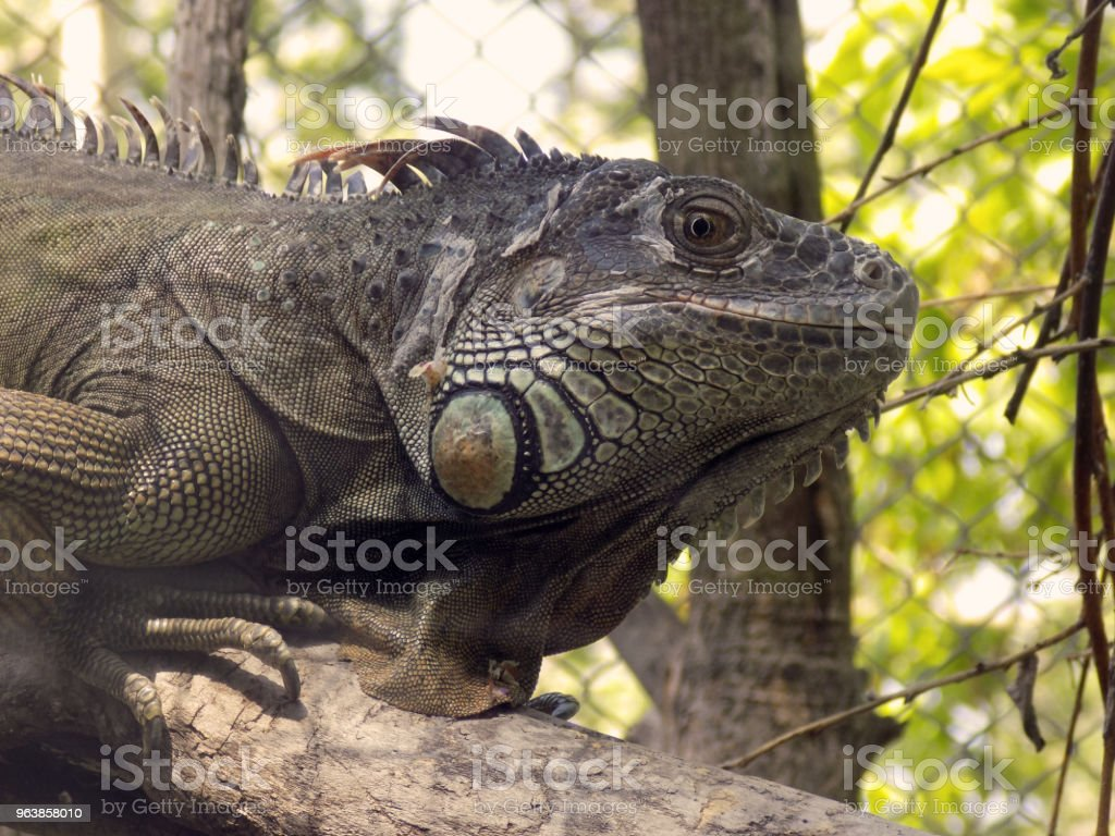 Portrait of beautiful, big iguana - Royalty-free Amphibian Stock Photo
