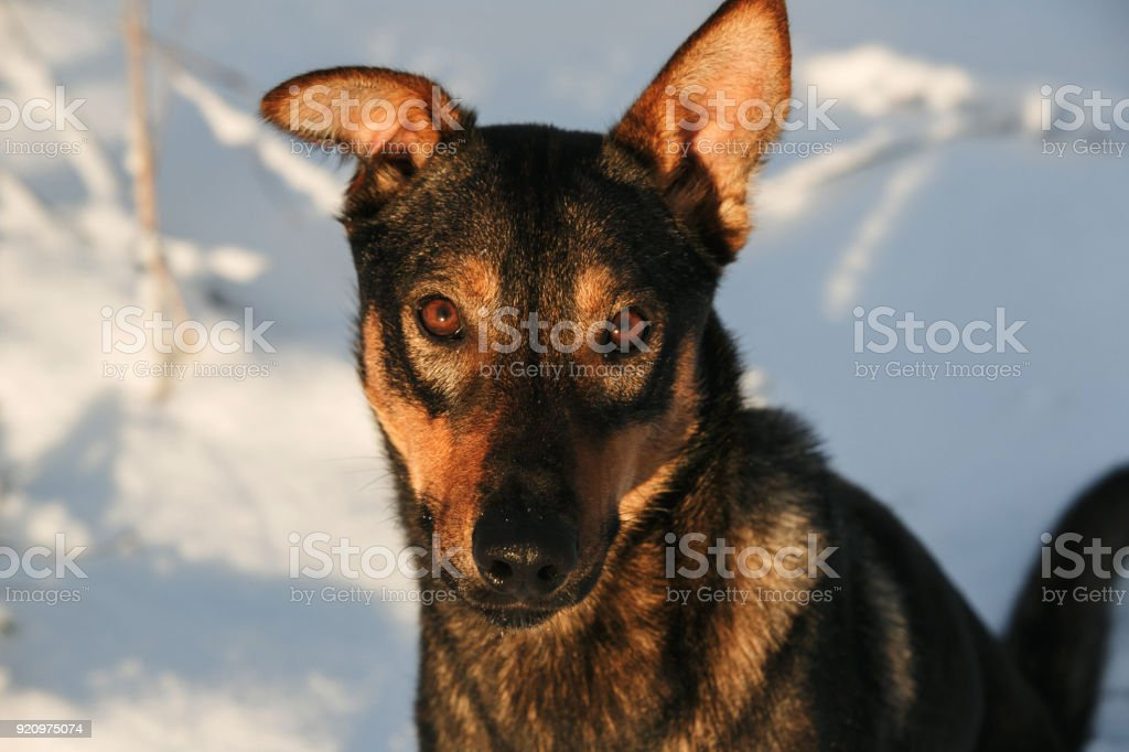 Portrait of beautiful black dog, looking at camera, sitting in a sunny meadow stock photo