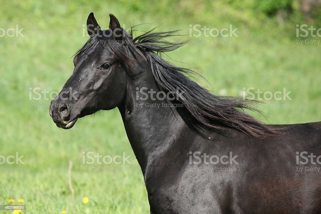 Portrait Of Beautiful Black Horse Stock Photo Download Image Now Istock