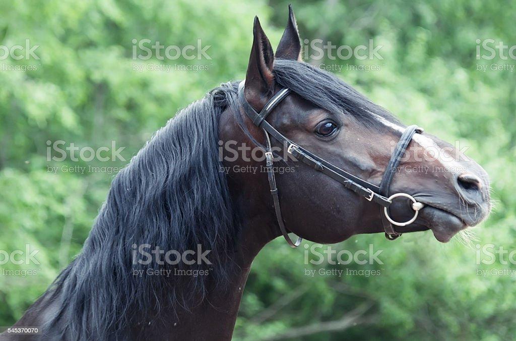 Portrait of beautiful breed sportive stallion stock photo