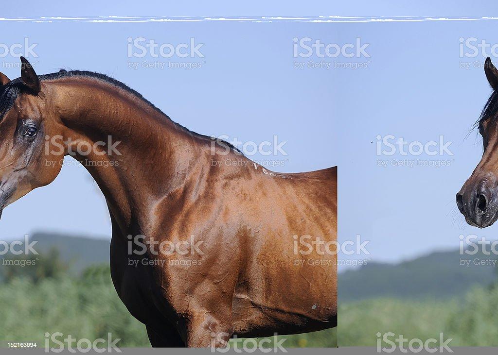 portrait of beautiful brown arabian horse royalty-free stock photo