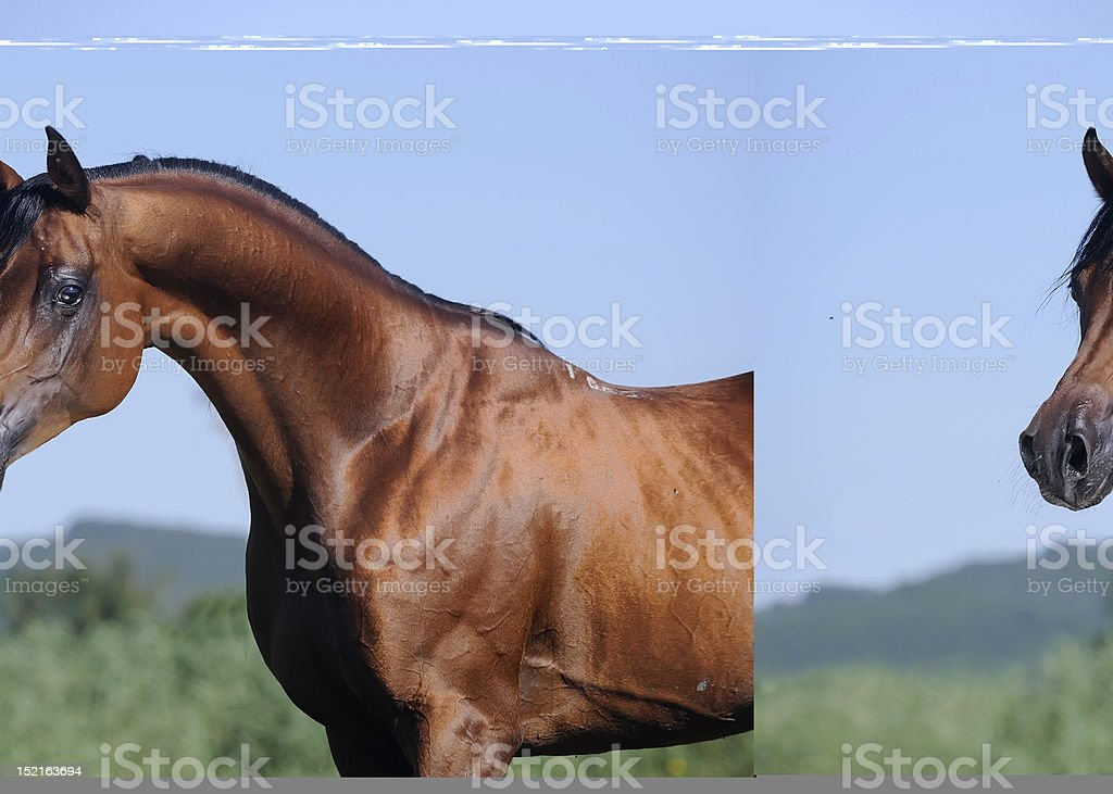 portrait of beautiful brown arabian horse stock photo