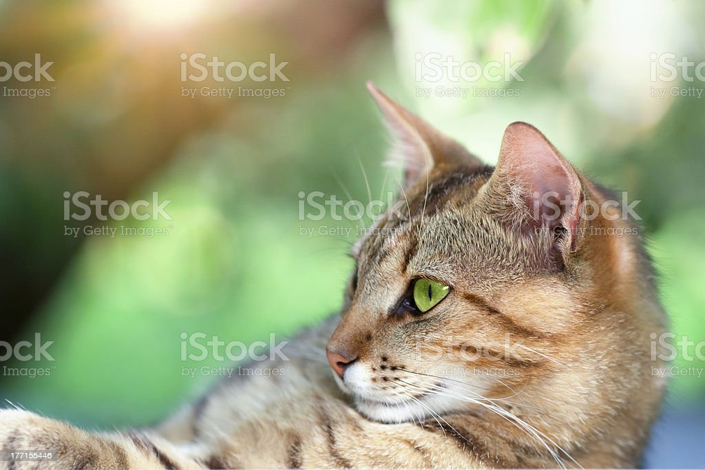 Portrait of beautiful cat royalty-free stock photo