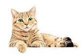 Portrait of beautiful cat Scottish Straight lying isolated on white background