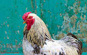 Portrait of beautiful cock on green background