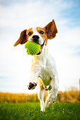 Portrait of beautiful dog outdoors,Running full of positive energy, retrieving a ball. Animal background theme.