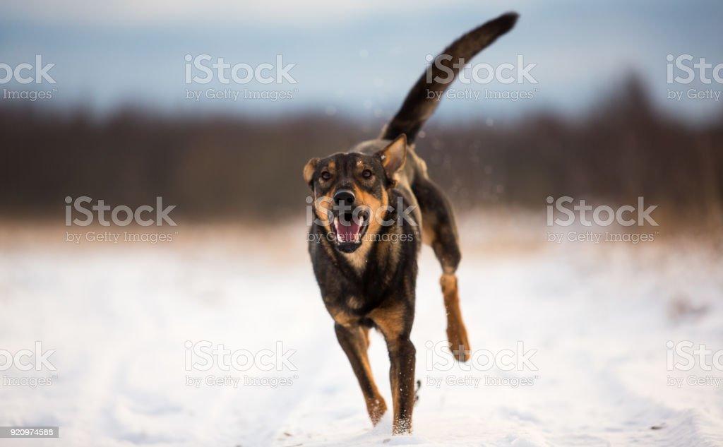 Portrait of beautiful dog, running at camera stock photo