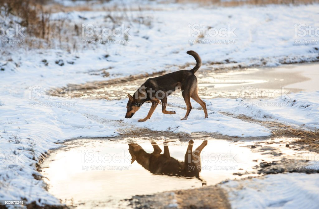 Portrait of beautiful dog, running near puddle, in winter stock photo