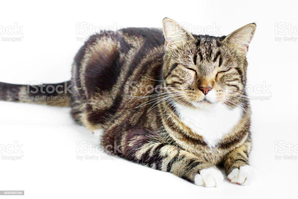 portret van prachtige binnenlandse cyperse kat stockfoto en meer