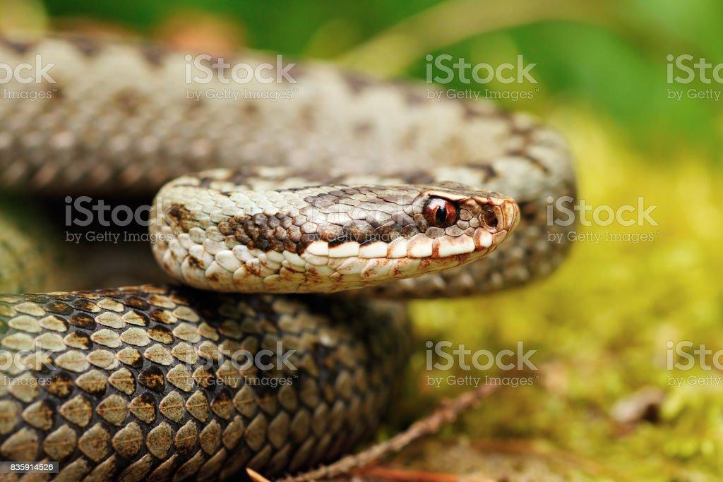 portrait of beautiful female Vipera berus stock photo