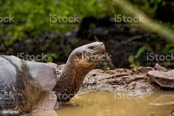Portrait of beautiful giant tortoise native to the galapagos islands picture id469706794?b=1&k=6&m=469706794&s=612x612&h=xj waprgveeynf4v4dplqvsuztnywyfs0ep9mo692dw=