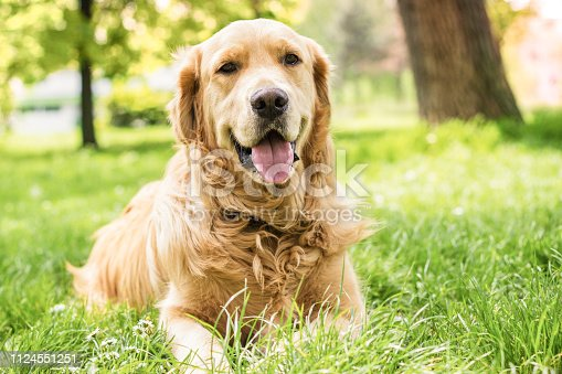 Portrait of beautiful Golden Retriever in the city park