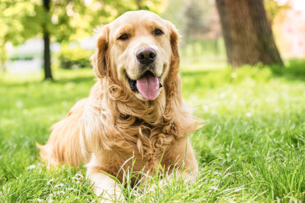 Portrait of beautiful Golden Retriever Portrait of beautiful Golden Retriever in the city park retriever stock pictures, royalty-free photos & images