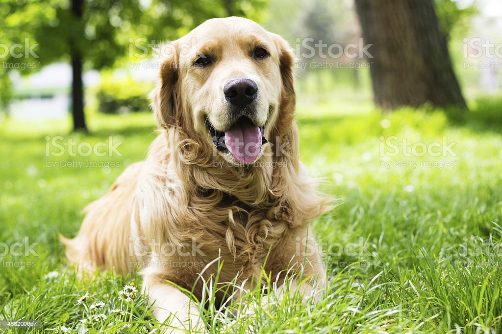 Portrait of beautiful Golden Retriever stock photo