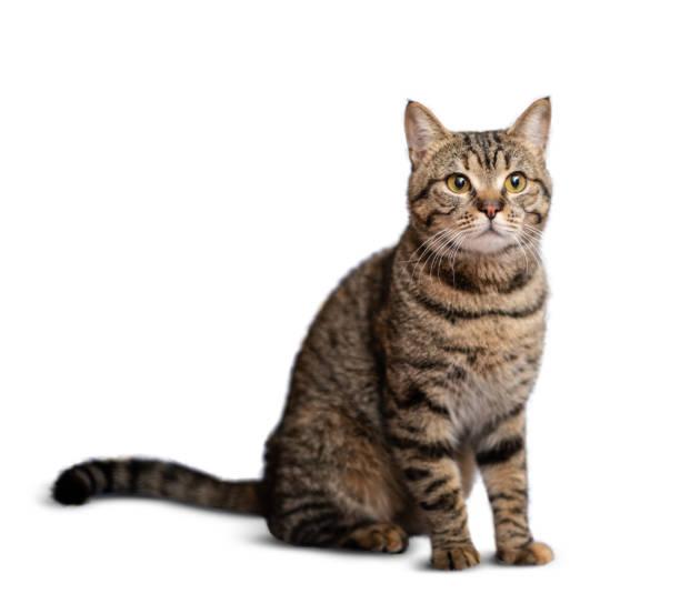 Portrait of beautiful grey cat on white background picture id1129616441?b=1&k=6&m=1129616441&s=612x612&w=0&h=iwhf7evlp90 am05b8 8nxqpv0dmp94iozp5xwahm0k=