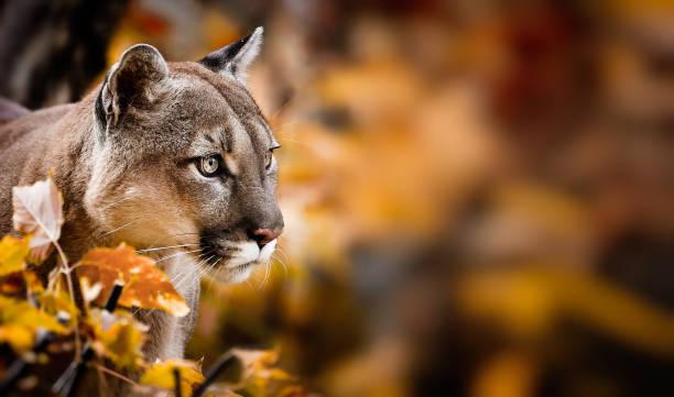 ritratto di beautiful puma nella foresta autunnale. puma americano - leone di montagna - fauna selvatica foto e immagini stock