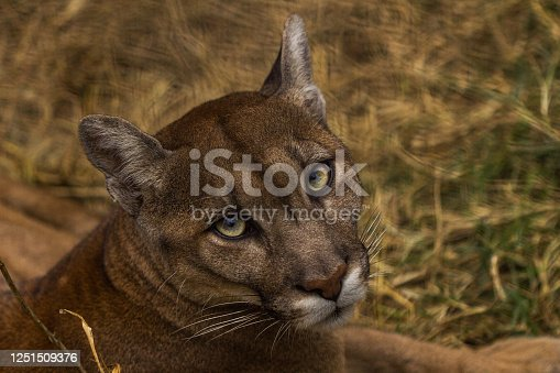 Portrait of Beautiful Puma in autumn forest. American cougar - mountain lion, striking pose, scene in the woods