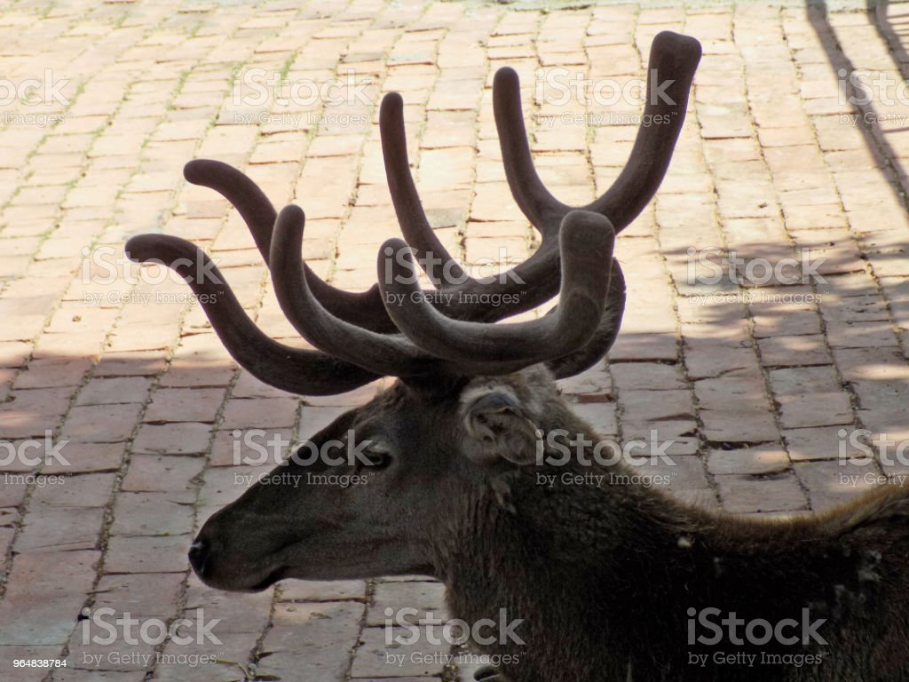 Portrait of beautiful reindeer with big horns royalty-free stock photo