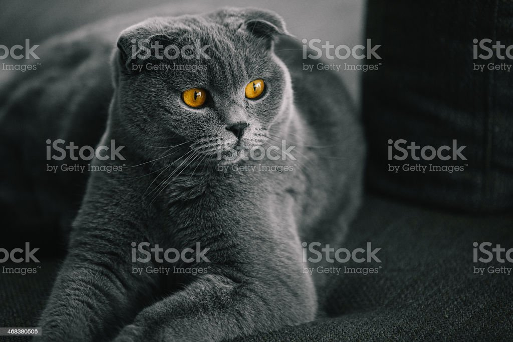 Portrait of Beautiful Scottish Fold Cat stock photo