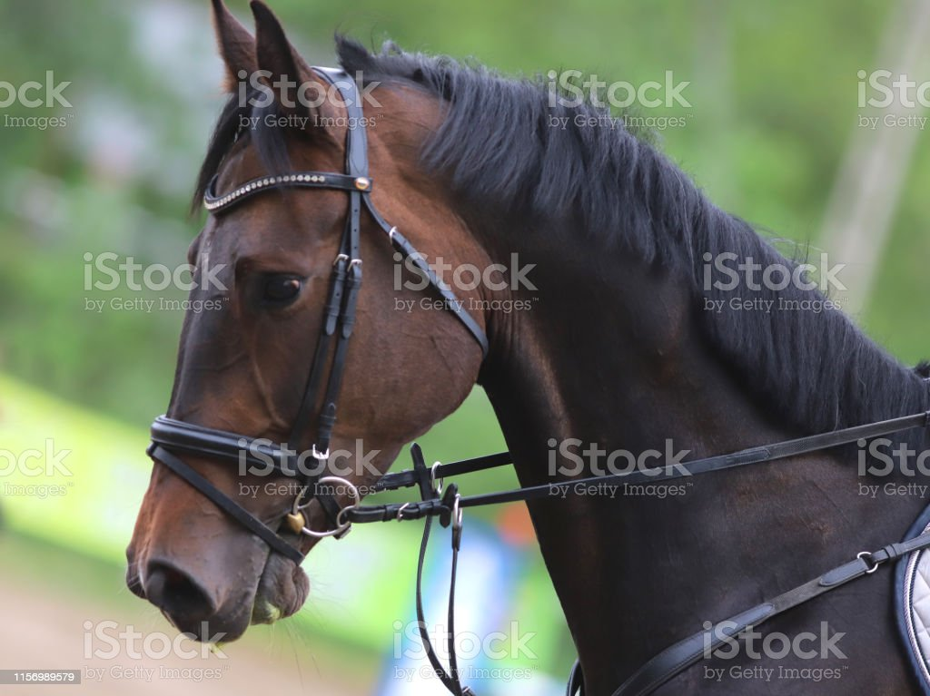 Head shot portrait close up of a young horse on show jumping event....