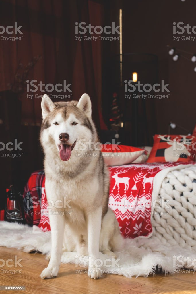 Portrait of beautiful Siberian husky dog sitting in the Christmas decorations. stock photo