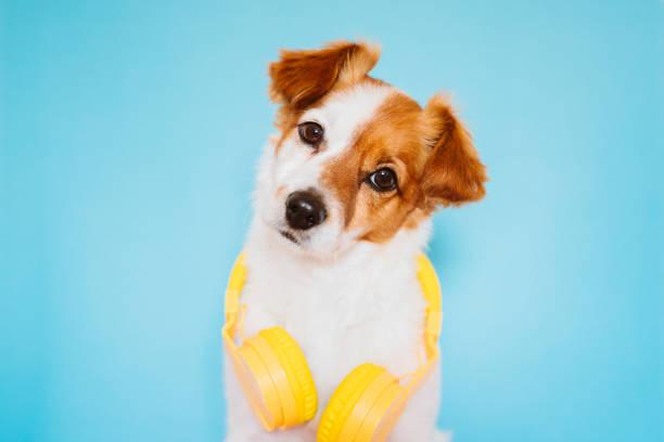 retrato de hermoso perro pequeño jack russell usando auriculares amarillos modernos sobre fondo azul. Concepto colorido y primaveral - foto de stock