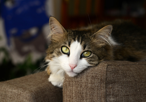 Portrait of beautiful tabby cat