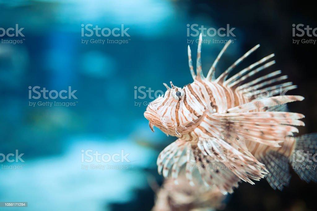 Portrait of beautiful venomous lion fish in aquarium stock photo