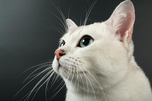 Portrait of beautiful white burmilla looking up, black background