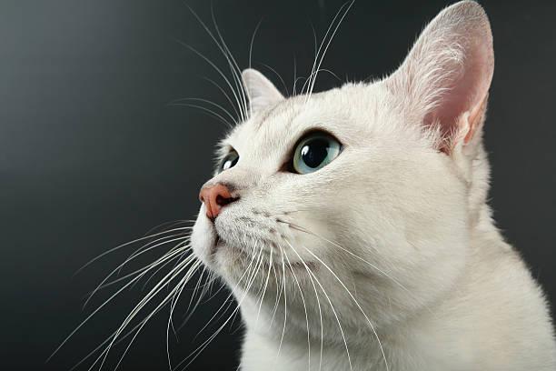 Portrait of beautiful white burmilla looking up, black background stock photo