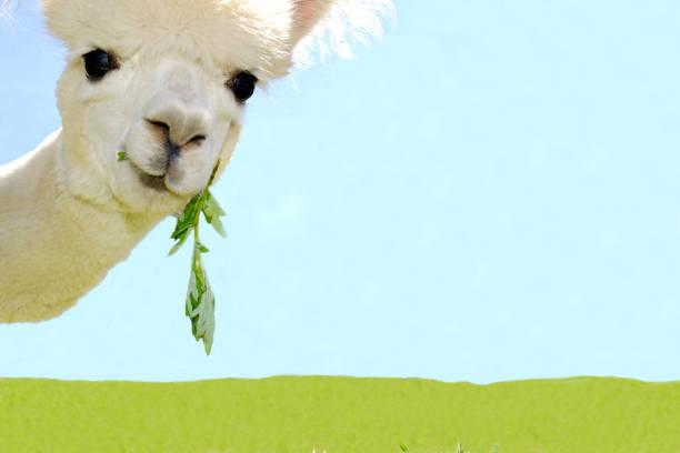 Portrait of beautiful white curious alpaca on sky blue background. stock photo