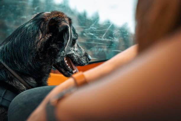 Porträt von schöne junge süße australischer Schäferhund mix mit braunen großen Augen sitzen in Seilbahn während einer Wanderung durch die Fenster beobachten – Foto