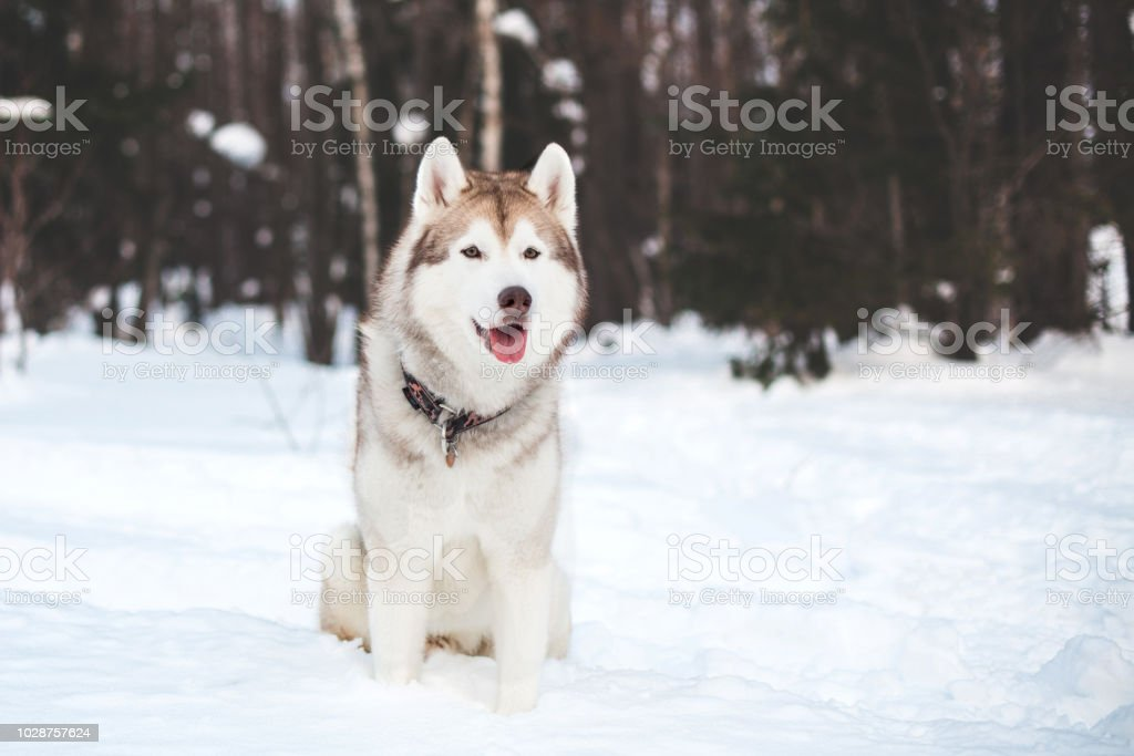 Portrait Of Beige And White Siberian Husky Dog Sitting In Winter