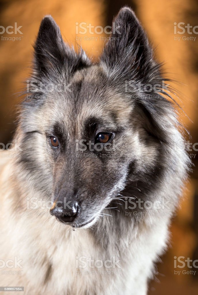 Portrait Of Belgian Shepherd stock photo