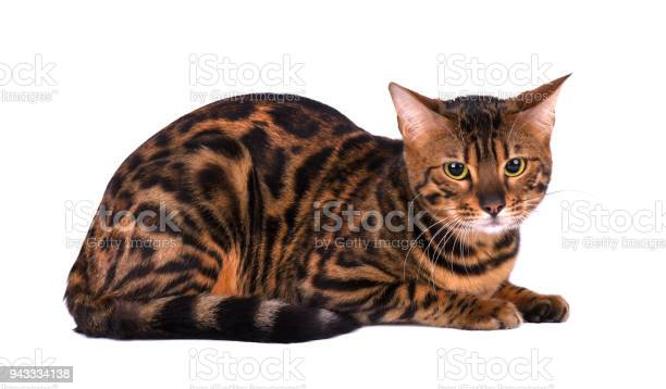 Portrait of bengal cat isolated on white background picture id943334138?b=1&k=6&m=943334138&s=612x612&h=mv2mb231mqpnqsyu6ghb0ppuxuuhmswhom9ewltpw7e=